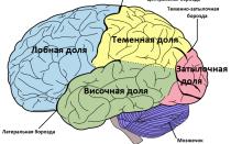 Как устроен мозг человека: отделы, строение, функции
