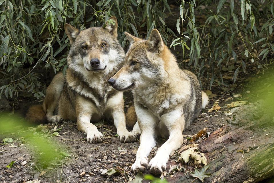 Задание про волков на развитие логики